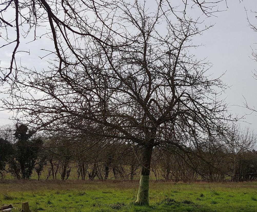 Baum vor dem Schnitt