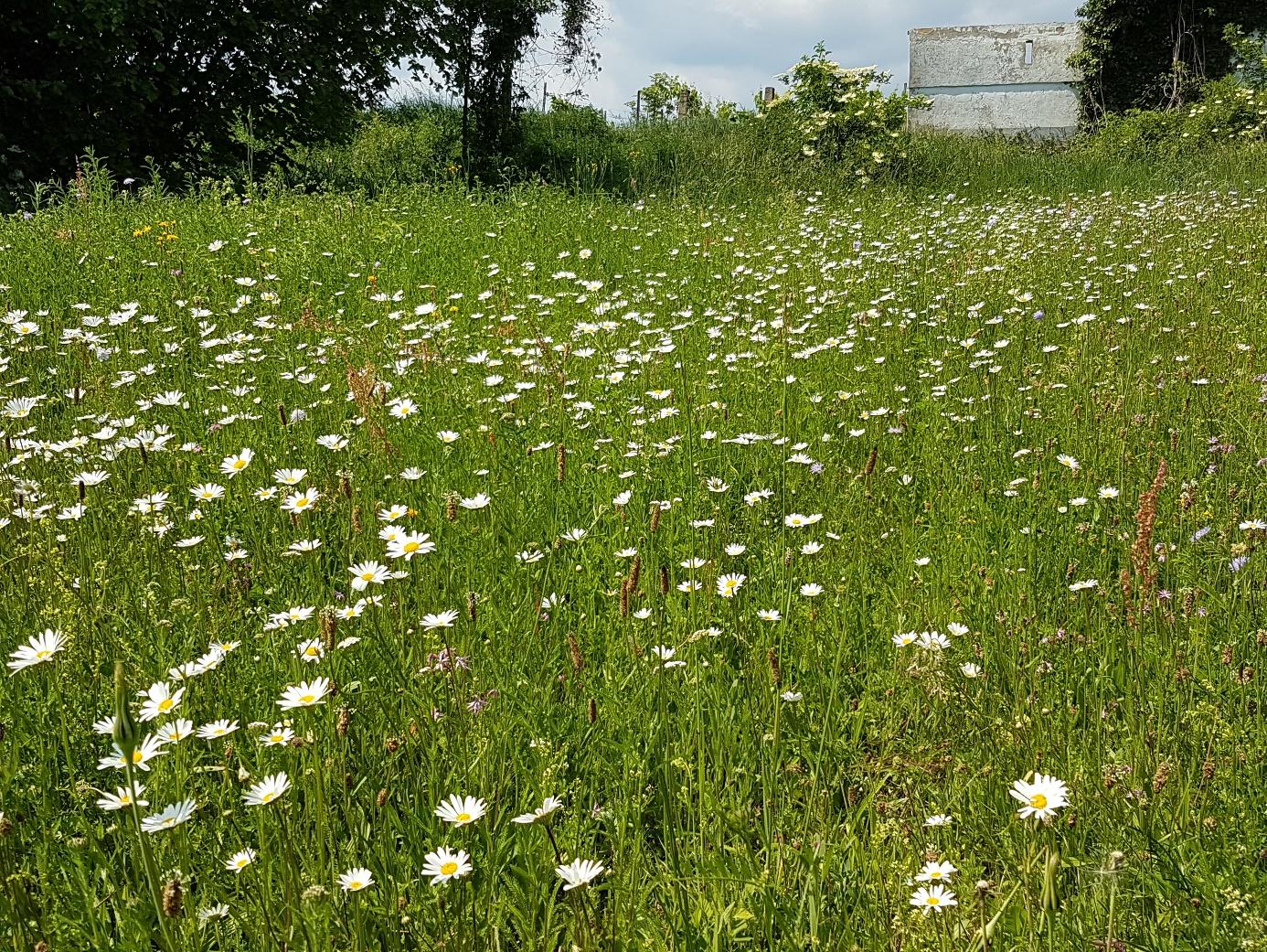 Wildblumenfläche am Sportplatz